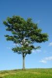 Tree. Single tree and crisp sky Royalty Free Stock Photography