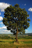 The tree (3). A tree isolated. In the background a typical italian landscape stock images