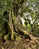 Tree. Curved roots and a large trunk of  a tree in costa rica Stock Images