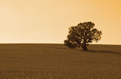 Tree. Lone tree in cornfield, with warming filter Royalty Free Stock Photography