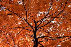 Tree. Beautiful red tree with black stem by autumn stock photo