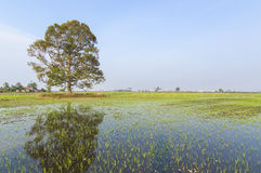 Tree. At paddy field with blue skies royalty free stock photography
