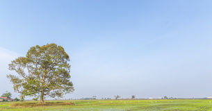 Tree. At paddy field with blue skies royalty free stock images