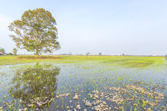 Tree. At paddy field with blue skies royalty free stock photos