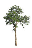 Tree Stock Photography