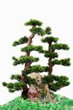 Tree. Japanese pine tree on the white background Stock Images
