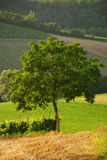 The tree (4). A tree isolated. In the background a typical italian landscape royalty free stock image