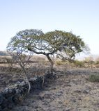 Tree. An old big tree in the african plains land Stock Photo