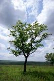 Tree. Alone tree with cloud sky Stock Image