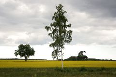 Tree. Lonely trees in yellow rapeseed a field Royalty Free Stock Image