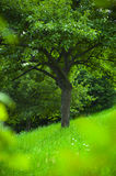 Tree. A tree on  grass field in summer Royalty Free Stock Photos