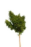 Tree. With green leaves isolated on white Royalty Free Stock Image
