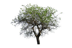 Tree. Green tree isolated on white Royalty Free Stock Image