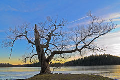 Tree. By the lake Mälaren in the English Garden of Rosersberg Palace, north of Stockholm Royalty Free Stock Photos