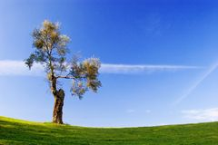 Tree. In golf field with deep blue sky stock images