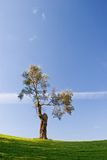 Tree. In golf field with blue sky royalty free stock images