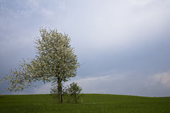 Tree. Flowered tree on the meadow before storm Stock Photography