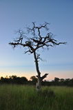 Tree. Dusk at kruger national park - south africa Royalty Free Stock Photography