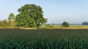 Tree above field of corn Stock Image