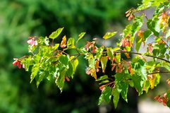 Tree . Acer saccharinum, commonly known as silver maple, creek,. Silverleaf, soft, water, swamp, or white maple is a species native to eastern and central royalty free stock photos