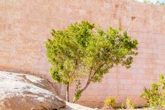 Tree at Acient city of Petra in Jordan. Petra is one of the New Seven Wonders of the World.  royalty free stock images