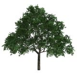 Tree Aesculus Glabra. Isolated on white background Royalty Free Stock Photos