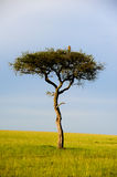 Tree in Africa Stock Photography