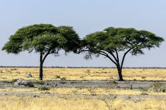 Tree on Africa Royalty Free Stock Photo