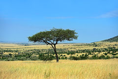 The tree in the African savanna Stock Image