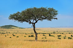 The tree in the African savanna Royalty Free Stock Image