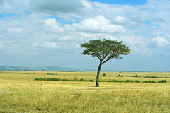 The tree in the African savanna Royalty Free Stock Photos