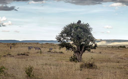 Tree on the African savannah Royalty Free Stock Images