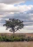 Tree on the African savannah Stock Photos