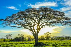 Serengeti landscape. African tree at sunset in the middle of the plains of the Serengeti National Park, Tanzania, Africa Royalty Free Stock Images