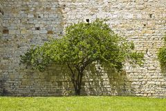 tree agains a stone wall Royalty Free Stock Images