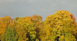 Tree against clear blue sky. Autumn Tree against clear sky in the sulight stock video footage