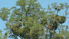 Tree against clear blue sky stock video footage