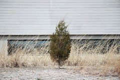 Small pine tree near building. Small evergreen or pine tree growing near a building Stock Photo