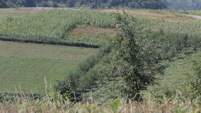 Tree against the fields. Of corn stock video footage