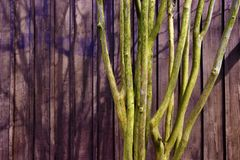 Tree against a purple stained wood of building. A crape myrtle tree branching truck against an exterior wooden wall stained in purple royalty free stock photo