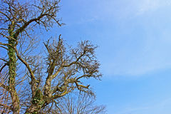 Tree against the sky Royalty Free Stock Photography
