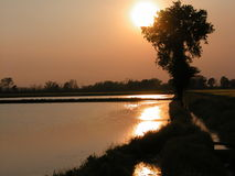 Tree against the Sun. Rice fields covered by water stock image