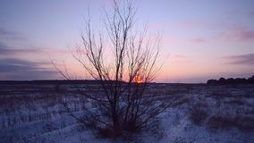 Tree against sunset evening winter forest, grass swaying wind, snow field on a background of blue sky stock video