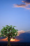 Tree against sunset sky Royalty Free Stock Photography