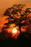 Tree against the sunset. Sun red Stock Photos