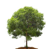 Tree against white Royalty Free Stock Image