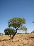 Tree Against the World 2. Surviving the drought - Field in Mali Africa Stock Image