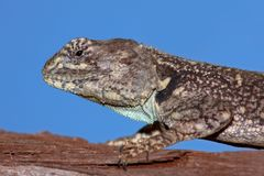 Tree agama royalty free stock image