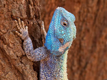 Tree agama. Male tree agama (Acanthocercus atricollis) in bright breeding colors, Kruger National Park, South Africa Royalty Free Stock Photo