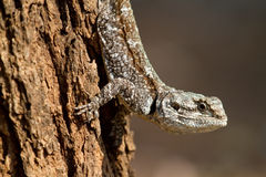 Tree agama Stock Image